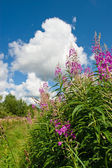 Rosebay Willowherb — Stock Photo