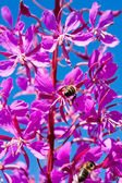 Flowering spikes of fireweed — Stock Photo