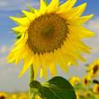Sunflower on the field — Stock Photo #3990459