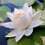 White lily — Stock Photo #4757492