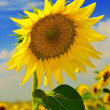 Sunflower against a blue sky — Stock Photo