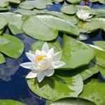 White lily — Stock Photo #4911625