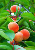 Ripe apricots grow on a branch — Stock Photo