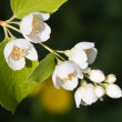 Macro shot of jasmine flower. Shallow depth of field — Stock Photo
