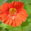 Stock Photo: Nasturtium in raindrops. Shallow depth of field