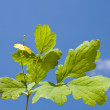 Branch celandine on sky background - Stock Photo