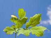 Branch celandine on sky background — Stock Photo