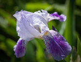 Close up of blooming iris. Small depth to sharpness — Stock Photo
