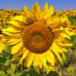 Sunflower on field of sunflower — Stock Photo