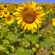Sunflower on field of sunflower — Stock Photo #4173140