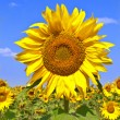 tournesol sur le champ de tournesol — Photo
