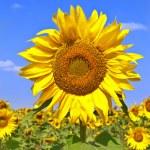 Sonnenblume auf Gebiet der Sonnenblume — Stockfoto