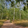 Stock Photo: Earth road between birch trees in forest