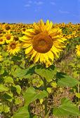 Sunflower on field of sunflower — Stock Photo