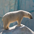 White bear in a zoo in Russia — Stock Photo