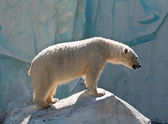 White bear in a zoo in Russia — Foto Stock