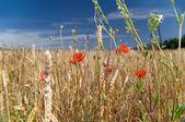 Poppy in a wheat field — Stock Photo