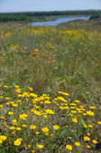 Meadow of yellow flowers — Stock Photo
