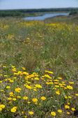 Prado de flores amarillas — Foto de Stock
