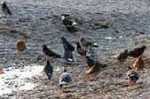 Few pigeons — Stock Photo