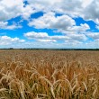 Field of wheat and beautiful blue sky — Stock Photo