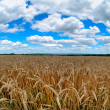 Field of wheat and beautiful blue sky - Foto Stock
