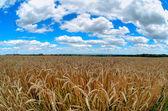 Field of wheat and beautiful blue sky — Stock Photo