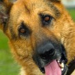 German Shepherd dog breed - Lizenzfreies Foto