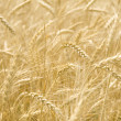Infinite field of ripe wheat — Stock Photo