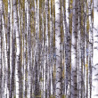 Yellow birches — Stock Photo