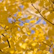 Yellow birches — Stock Photo #4288747