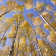 Yellow birches — Stock Photo #4744746