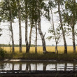 Birches and reflection — Stock Photo