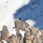 Mountan raven — Stock Photo