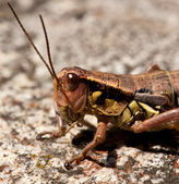 Young locust — Stock Photo