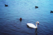 Swans in blue Lake — Stock Photo