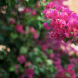 Stock Photo: Pink flowers on tree