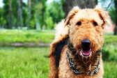 Portrait of beauty big brown dog — Stock Photo