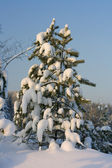 Pine on snow — Stock Photo