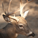 Whitetail buck. — Stock Photo