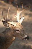 Whitetail buck. — Stock Photo