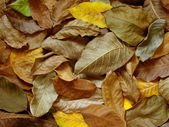 Walnut leaves — Foto de Stock