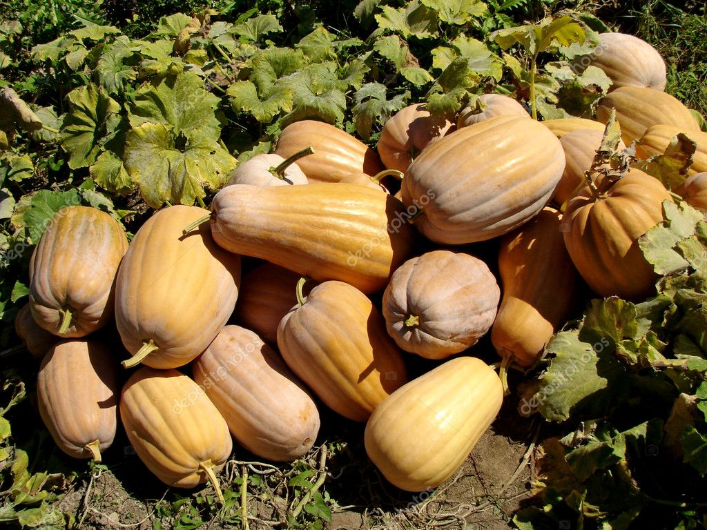 Amount of ripen pumpkins at the patch                                — Stockfoto #3957016