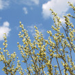 Pussy willow - Stock Photo