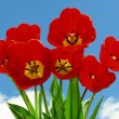 Red tulips bouquet - Stock Photo