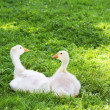 Stock Photo: Young geese