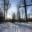 Winter forest, trails, sun — Stock Photo
