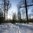 Stock Photo: Winter forest, trails, sun