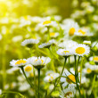 Daisies in a field — Stock Photo