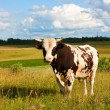 Stock Photo: Bull on meadow